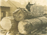 Pine Logs on the way to the mill