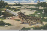 Postcard of Texas Horned Toad, June 19, 1944