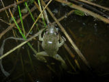 Spotted Chorus Frog