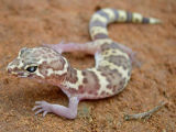 Texas Banded Gecko