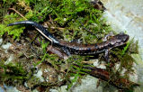 Rich Mountain Salamander
