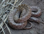 Texas Nightsnake