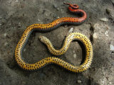 Mississippi Ring-necked Snake