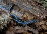 Sequoyah Slimy Salamander