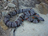 Grey Banded Kingsnake