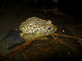 Houston Toad