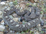 Northern Blacktail Rattlesnake
