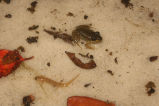 Southern Two-Lined Salamander Larva and Florida Bog Frog