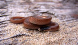 Plains Blackhead Snake