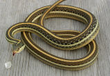 Gulf Coast Ribbon Snake