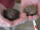 Houston Toad Captive Breeding Facility