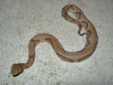 Southern Copperhead - Aberrant