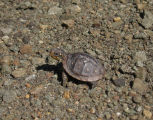 Three-toed Box Turtle Hatchling