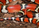 Louisiana milksnake