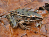 Coastal Plains Leopard Frog