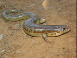 Great Plains Skink