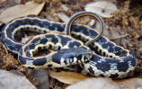 Eastern Black-necked Garter Snake