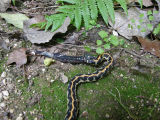 Eastern Black-necked Garter Snake Regurgitating Slimy Salamander