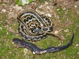 Eastern Black-necked Garter Snake and Regurgitated Slimy Salamander