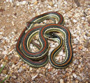 Red-striped Ribbonsnake
