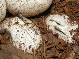 Buttermilk Racer Eggs Hatching