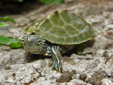 Cagle's Map Turtle