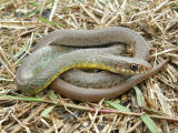 Yellowbelly Racer