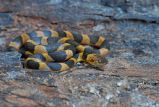 Northern Cat-eyed Snake