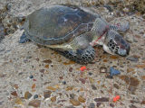 Atlantic Green Sea Turtle - Effects of Pollution