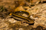 Three-lined Salamander