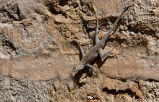 Merriam's Canyon Lizard