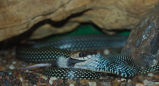 Speckled Racer