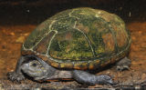Mississippi Mud Turtle