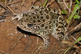 Southern Crawfish Frog