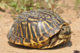 Plains Box Turtle
