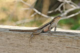 Rose-bellied Lizard