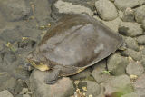 Guadalupe Spiny Softshell