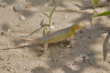 Keeled Earless Lizard