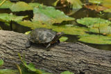 Red-eared Slider