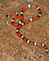 Louisiana Milk Snake