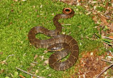 Blotched Water Snake