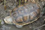 Texas Diamond-backed Terrapin
