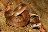 Texas Brownsnake