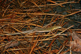Eastern Six-Lined Racerunner