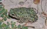 Chihuahuan Green Toad