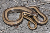 Tamaulipan Black-striped Snake