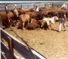 Photograph of Cattle in a Pen with Men