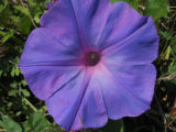 Oceanblue Morning Glory